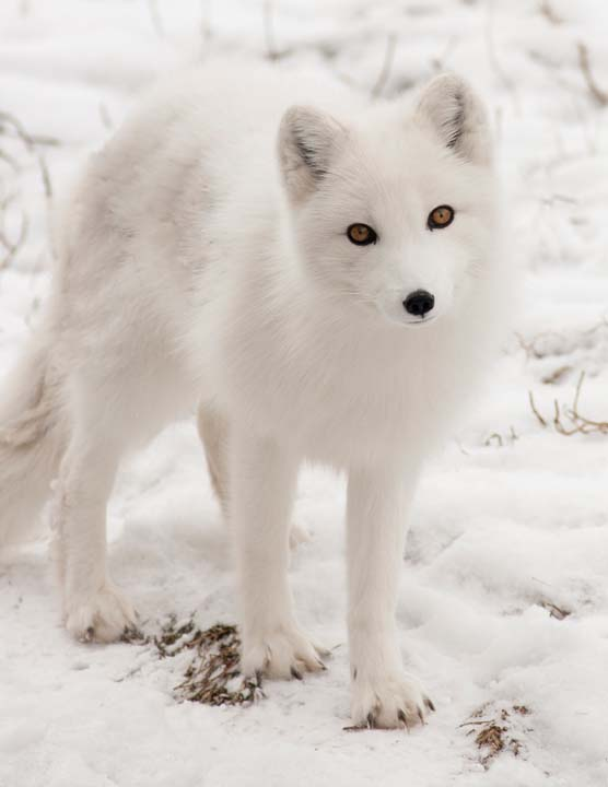 Игровой автомат polar fox outlaw 1100 gke дота